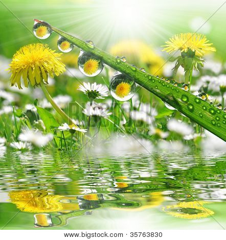 Fresh grass with dew drops in the background of the daisies and dandelions