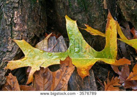 Fall Oak Leaf