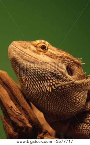Australian Bearded Dragon (Pogona Vitticeps)