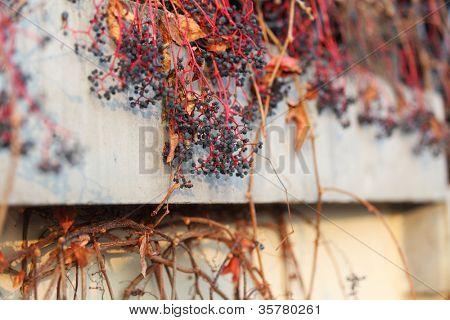 dry grape on wall