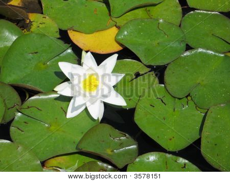 White Water Lily Floating On Green Leaves