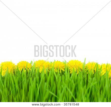 Yellow Dandelions in Green Grass on Isolated White Background  / taraxacum officinale