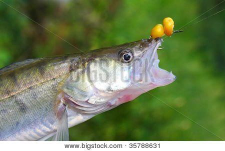Fresh catch of The Zander or Pike-perch (Sander lucioperca).