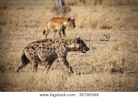hiena manchada en zambia de Parque Nacional de luangwa