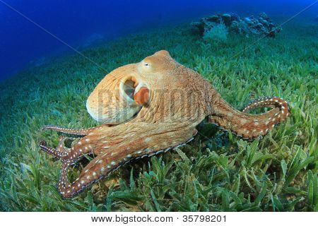 Big Red Octopus (pulpo cyaneus)