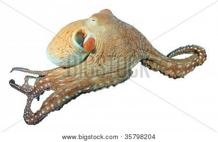 Reef Octopus isolated on white background