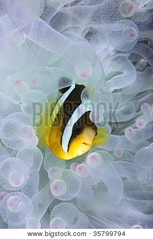 Clown fish, Amphiprion clarkii, hiding in bleached sea anemone Entacmaea quadricolor