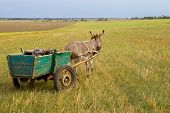 pic of horses ass  - A donkey with a load moves across the field on a summer day - JPG
