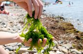 Close-up shot of edible seaweed