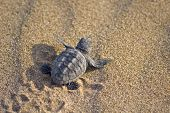 foto of sea-turtles  - Loggerhead Turtle baby(Caretta carretta) go to the sea