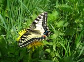 beautiful butterfly of Papilio machaon