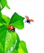 ladybird on green leaf and drop