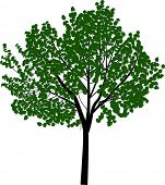 illustration with broad-leaved tree isolated on white background