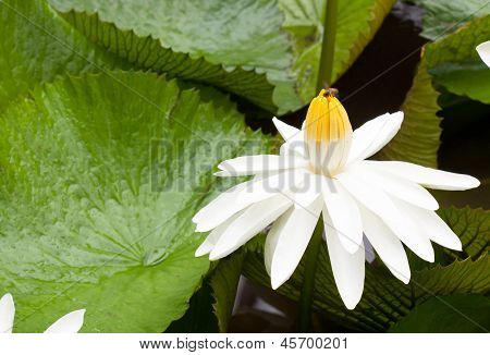 White Lotus Flower Blooming
