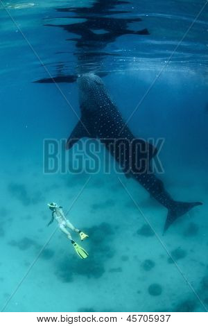 Young lady diving on a breath hold by a whale shark