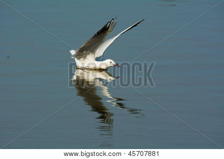 Slender-billed Gull Landing