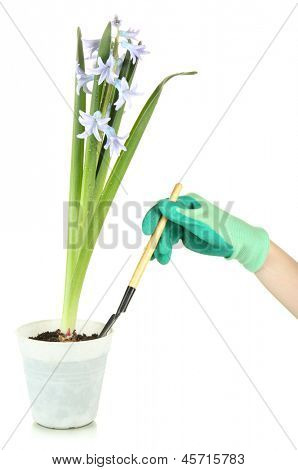 Beautiful hyacinth in flowerpot and gardener's hand (conceptual photo flower care), isolated on white