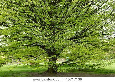 Fresh Hornbeam tree sprouting at spring