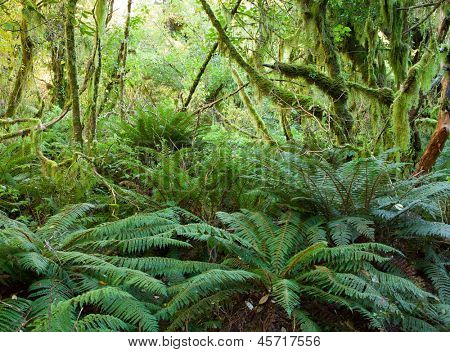 Temperate rain forest with  Fern , Fiordland National Park, South Island , New Zealand
