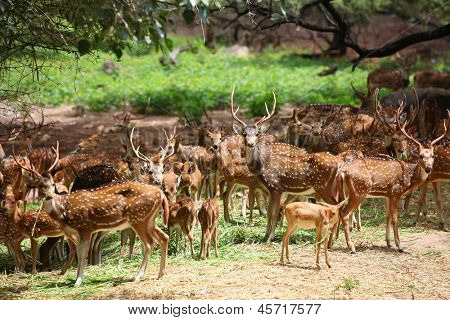Many spotted deer in wild life sanctuary