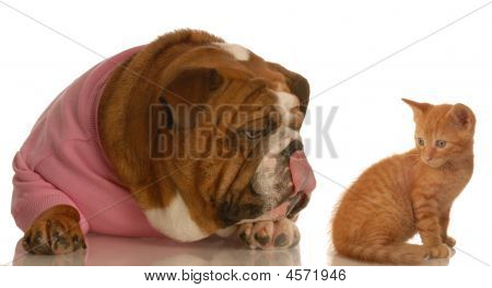 Bulldog Licking Lips With Kitten