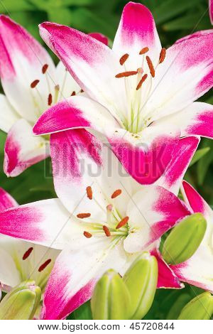 Beautiful pink hemerocallis flowers