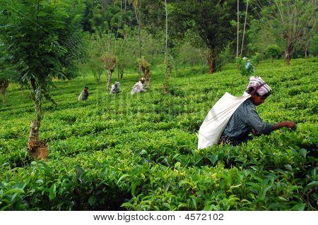 auf der Teeplantage