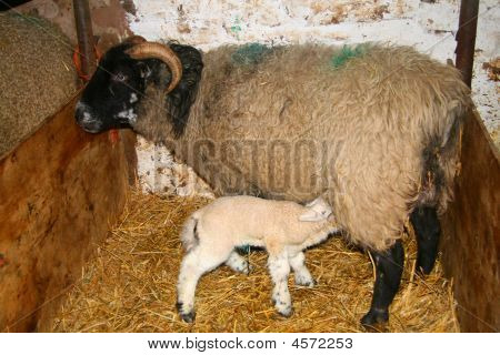 Lamb Feeding From It's Mother