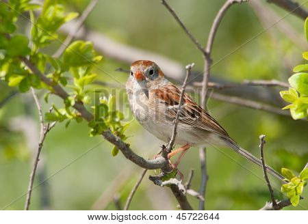 Field Sparrow resting in a bush in spring
