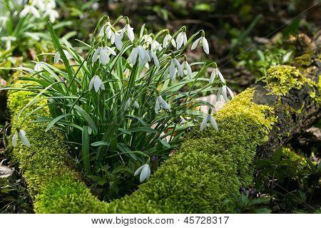 Spring snowdrop flowers in a garden