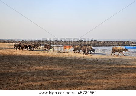 Indian Herd Spend A Day At Seaside
