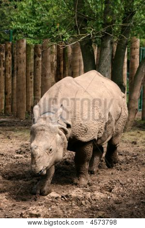 Asian Great One-horned Rhinoceros