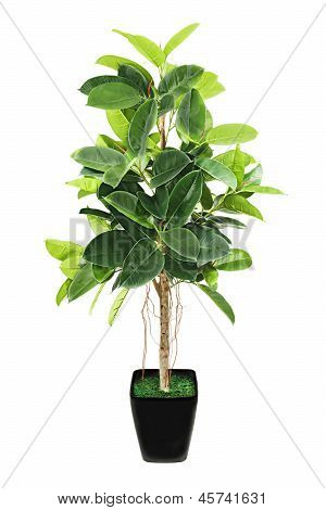 Ficus Elastica (indian Rubber Bush) In Black Flowerpot On White Background.