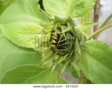 Sun Flower Bud