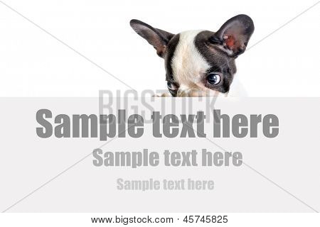 French bulldog puppy with white board and sample text