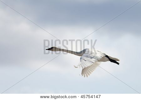 Flying Trumpeter Swan Cygnus buccinator and clouds