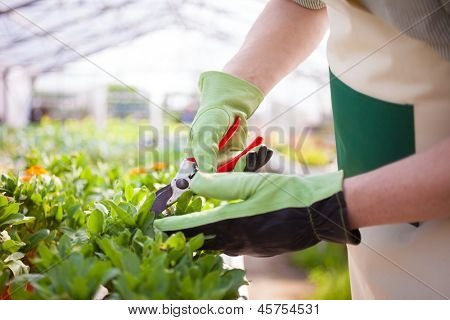 Portrait of a gardener trimming a plant