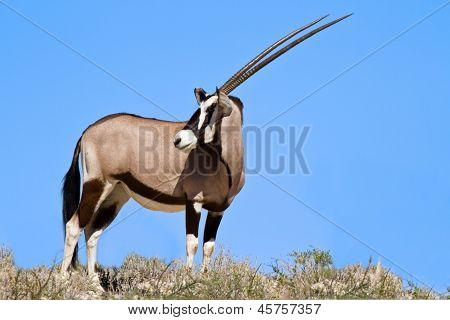 Oryx Grazing In The Desert