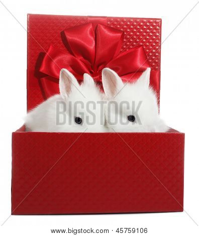 Two white rabbits bunnies in red gift box