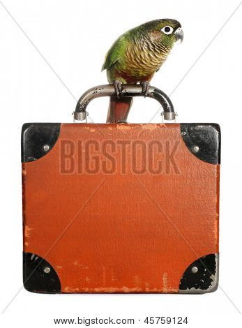 Pyrrhura parrot conure pet bird with suitcase
