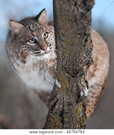 Bobcat (rufus do Lynx) atrás de filial
