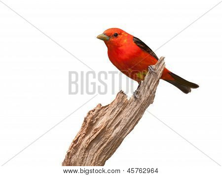 Tanager Attitude