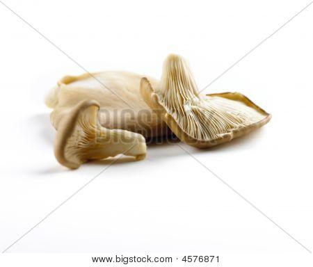 Oyester Mushroom On White