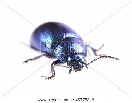 metallic blue beetle