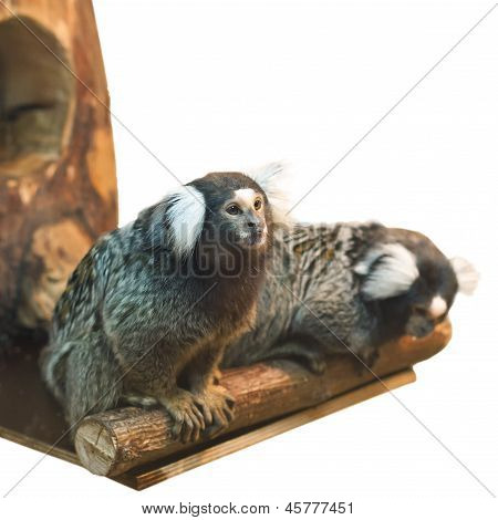 Two Marmoset Isolated On White