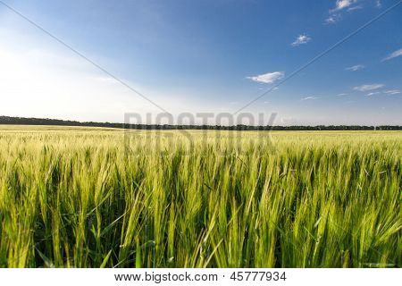 Green Wheat On The Field
