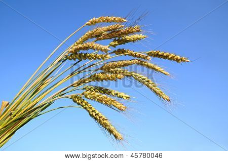 Stalks Of Ripe Wheat