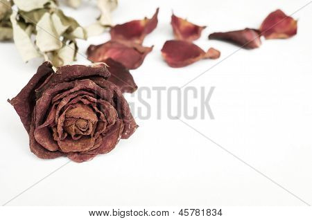Dried Rose, Dead Rose