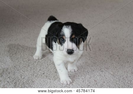 Black and white puppy on carpet