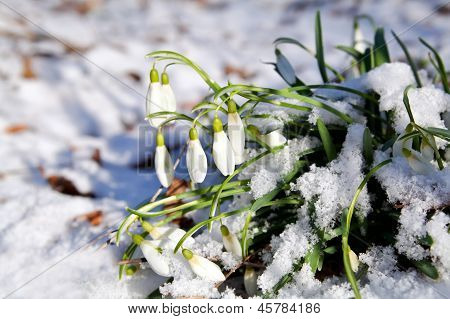 Snowdrops Flowers In Snow At Early Spring
